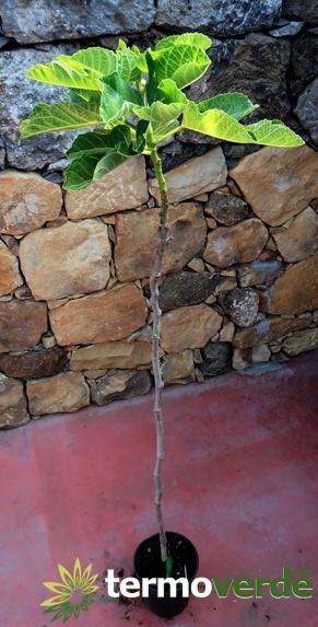Termoverde vendita online albero pianta fico bifera bianco for Pianta di fico prezzo