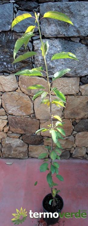Termoverde vendita online albero ciliegio durone di for Albero ciliegio