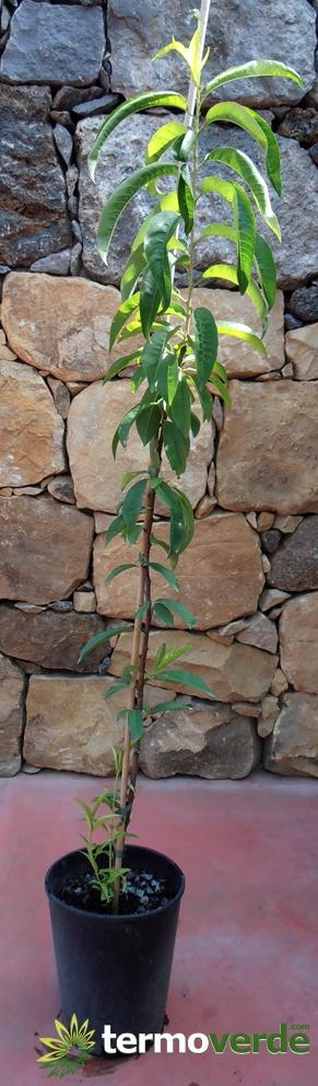 termoverde vendita online albero pianta pesco noce precoce