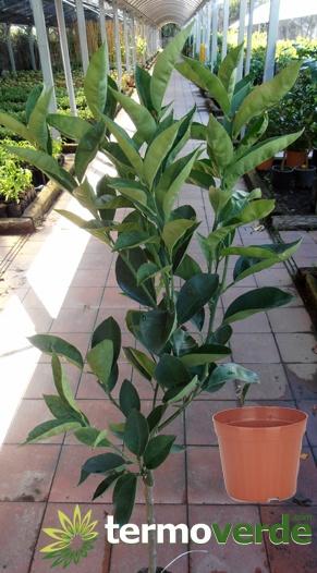 Termoverde albero limone lunario vaso for Albero limoni in vaso