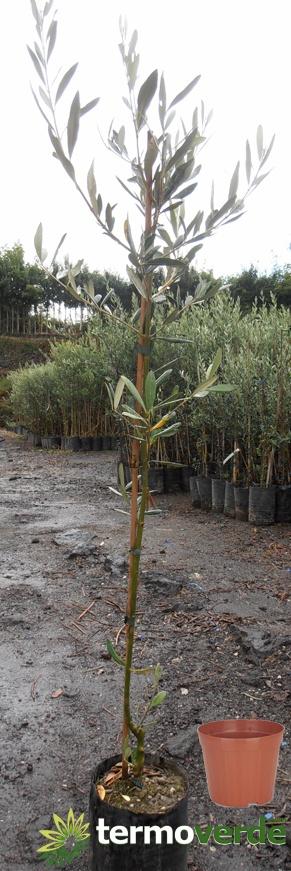 Termoverde vendita online albero pianta ulivo grossa di for Vendita piante ulivo